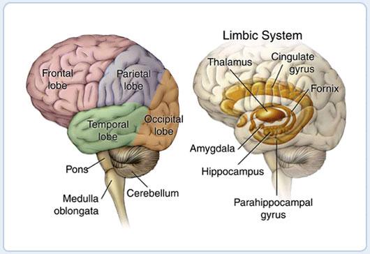 mercercognitivepsychology [licensed for non-commercial use ... Limbic System Emotion
